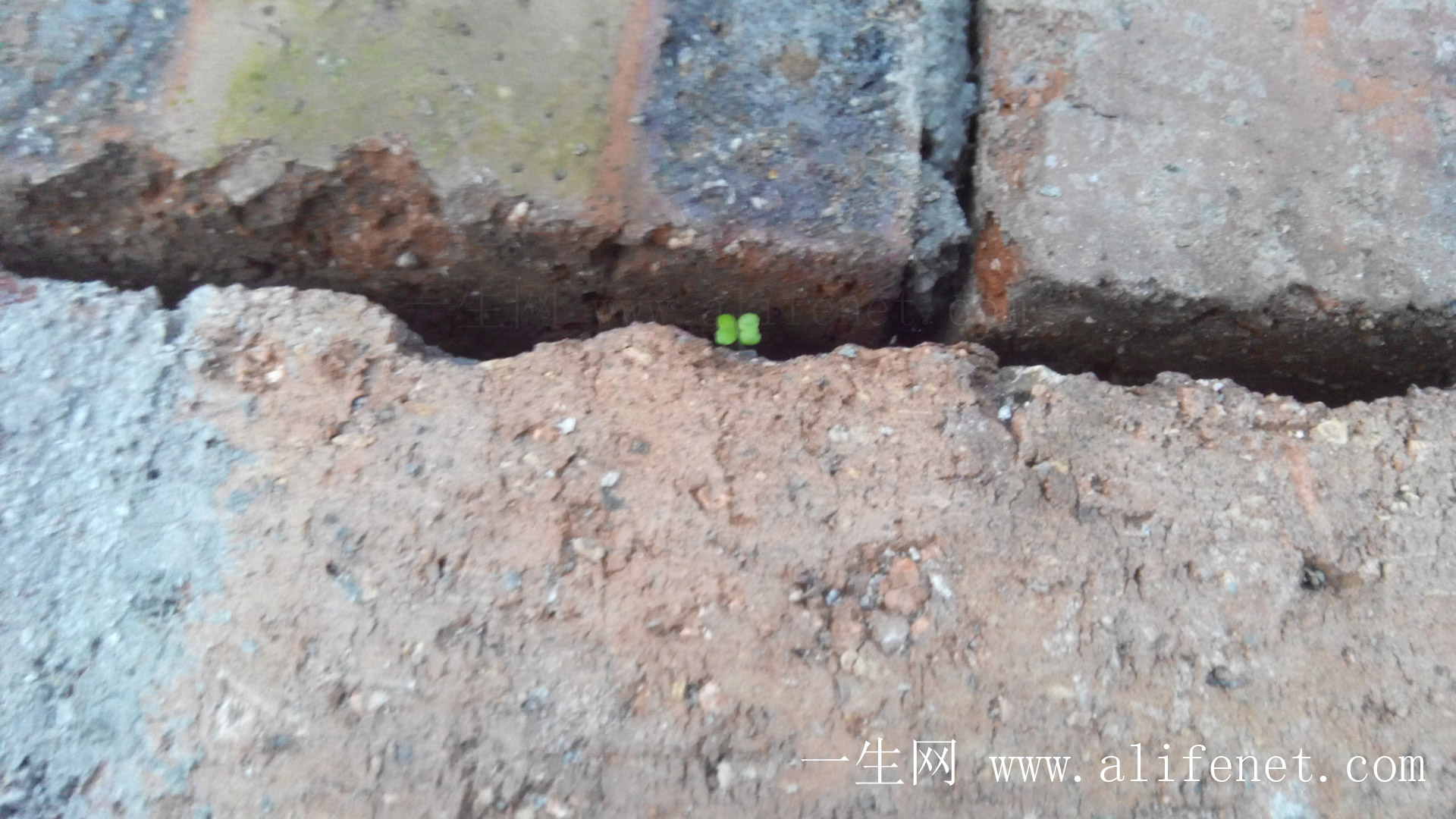 火砖混凝土墙缝里长小白菜
